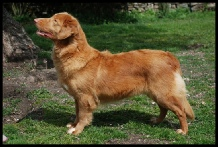 Amy Nova Scotia Duck Tolling Retriever