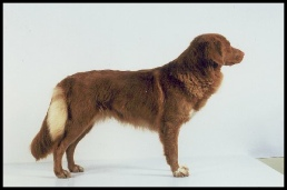 Danny Nova Scotia Duck Tolling Retriever