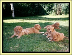 Puppies Nova Scotia Duck Tolling Retriever