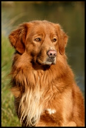 Uley Nova Scotia Duck Tolling Retriever