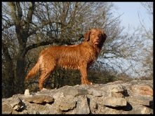Yum-Yum Nova Scotia Duck Tolling Retriever