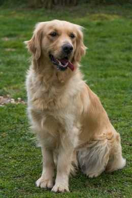 Issy  Golden Retriever