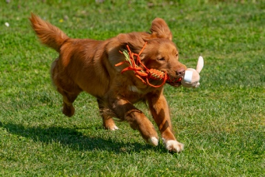 Nova Scotia Duck Tolling Retriever - Millie