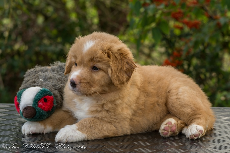 Chiot - Nova Scotia Duck Tolling Retriever