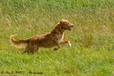 Rags - Nova Scotia Duck Tolling Retriever