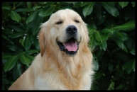golden retriever - Baz